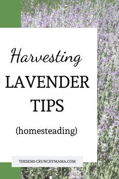 Tips on harvesting lavender! Homesteading and gardening tips and tricks. How I harvest my own lavender. #homesteading #gardeningtips #harvestlavender #lavender #homegarden #homegardening #lavenderfields #homesteadingtips