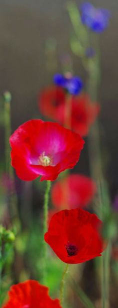 ~~Red Poppies~~ ༺♥༻@>~I will make a 11th / 11th Remembrance Card from this beautiful picture~<@༺♥༻