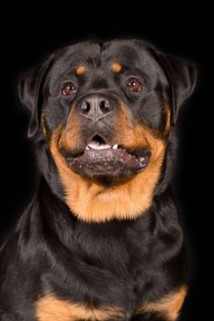 Big Dogs, Cute Dogs, Dogs And Puppies, Doggies, German Rottweiler, Rottweiler Love, Beautiful Dogs, Animals Beautiful, Cute Animals