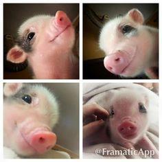 czy te świnki nie są przepiękne