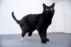 Two-year-old Oscar was fitted with some new hind legs after he had his own severed by a combine harvester. Veterinarian Noel Fitzpatrick and the University College London team joined up to give this lucky black kitty another chance at a happy, active life.