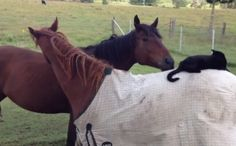 Horse Friends, Ruby & Champy, Groom Each Other While Morris The Cat Hangs Out