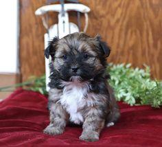 Shorkie Puppies for Sale Shih Tzu Poodle Mix, Shih Tzu Mix, Animals Dog, Cute Baby Animals, Shorkie Puppies For Sale, Lancaster Puppies, Yorkies, Mans Best Friend, Puppy Love