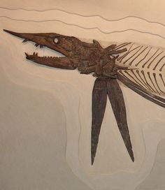 "Protosphyraena nitida - ""Prehistoric Swordfish"". 85 m.y.o. This exotic Cretaceous predator has been known for over 150 years. It was first discovered in Europe and described in 1857. Charles H. Sternberg discovered the first North American remains in the late 1880's (see comments from his book, shown below). This is the first skeletal presentation of this cartilaginous bodied fish. This and more rare fossils for sale on CuratorsEye.com"