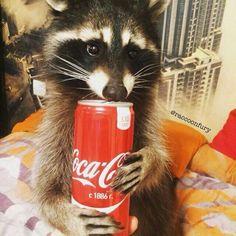 Baby Raccoon, Cute Raccoon, Pet Fox, Racoon, Fluffy Animals, Animals And Pets, Baby Animals, Cute Animals, Funny Animal Videos