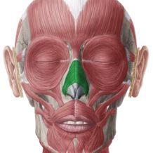 Nasalis Muscle