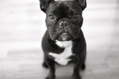 Black French Bulldog Wallpaper