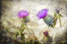 Teapot Tattoo, Scotland National Flower, Thistle Tattoo, Scottish Heather, Artist Sketchbook, Scottish Thistle, Plant Images, Celtic Art, Flower Images