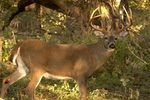 How to Make Homemade Deer Attractant | eHow