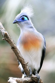 "Crested Coua.-- ""Dern that last guy.  I thought MY eyes were most beautiful in the land."""