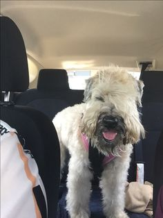 154 best wheaten terrier haircuts images in 2019 wheaten terrier rh pinterest com