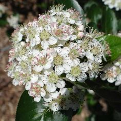 Aronia melanocarpa 'Autumn Magic' Chokeberry, $17.95 - a great garden shrub for spring flowers, summer fruit and fall color. In the spring it is covered in fragrant white flowers. The flowers are followed by clusters of large, edible dark-blue to black berries that stays on the plant through winter. But, it's best know for its fall foliage, which turns from a glossy dark green in the summer to reds and purples in the fall.
