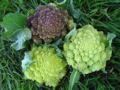 heirloom broccoli varieties | Broccli Romanesco: it's got little conical florets. It's an heirloom ...