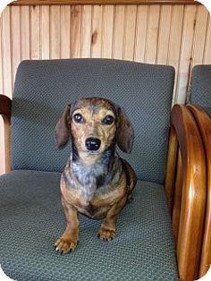Adopt a Pet :: Kiwi - Cranford, NJ - Dachshund