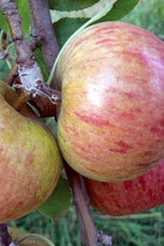 Cox's Orange Pippin Apple. Mid fruiting and one of the best heritage apples in the world.