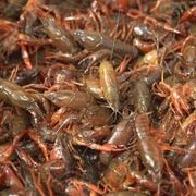Aquacultured -- also known as farmed -- crayfish have been researched for around 30 years and much is known about how to successfully raise these crustaceans. Why you are raising the crayfish determines much of your setup.