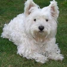 Intelligent, energetic, fun. the West Highland Terrier.