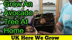 How To Grow Avocado From Seed. Step By Step