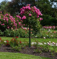Rosen und Clematis - Clerotiker 2014 - Seite 46 - Rund um die Rose - Mein schöner Garten online