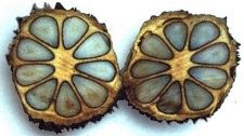 xxx ~ palm seed (Phytelephas Macrocarpa) - known as vegetable ivory