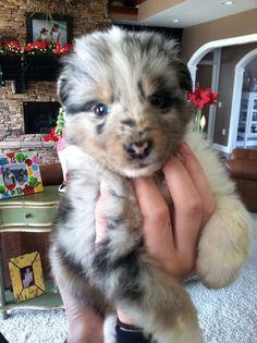Blue Merle Sheltie puppy!