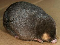 Chrysochloris asiatica - Topo dorado del Cabo, a pesar de su nombre no es originario de Asia, sino que es endémico de una diminuta zona en el oeste de la provincia de El Cabo, en Sudáfrica. Se encuentra principalmente en zonas de sabana. Es un animal compacto y redondo,tiene el pelaje corto, suave, tupido y lustroso, típico de los topos