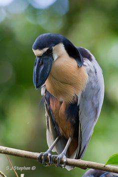 Boat-billed Heron - Arenal, Costa Rica by Stephen Stephen Pretty Birds, Love Birds, Beautiful Birds, Animals Beautiful, Exotic Birds, Colorful Birds, Kinds Of Birds, Tier Fotos, Big Bird