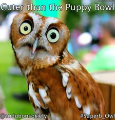 Ready for Superb Owl Sunday? Nocturnal Birds, Screech Owl, Cute Animal Pictures, Bird Watching, Fur Babies, Dog Cat, Cute Animals, Things To Come, Puppies