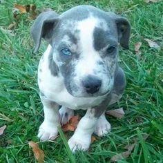blue merle pitbull - Google Search