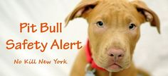 No Kill New York is currently in the process of verifying that pit bulls at a Pit Bull Awareness Day event were maliciously poisoned. Please keep a close eye on your dogs. Do not leave your dogs unattended and be careful of anyone offering treats or water that you do not know. More as this story develops. Please share this safety alert, far and wide. Better safe than sorry.