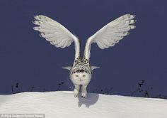 シロフクロウの狩りの瞬間をとらえた超絶写真