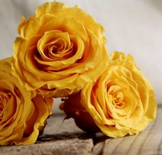 """Preserved Akari Queen Mimosa Yellow Roses    (6-2.5"""" rose heads) Flowers   $24"""
