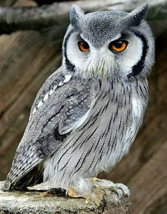 Awesome Owl!