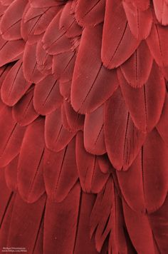 proofofevidenceAs blood red jam Macaw Feathers XXII Photo by Michael Fitzsimmons Full portfolio at MFitz Patterns In Nature, Textures Patterns, Red Feather, Feather Texture, Bird Feathers, Red Aesthetic, Aesthetic Light, Aesthetic Pastel, Shades Of Red