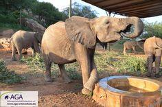 Zurück im Gehege stillen die kleinen Elefanten ihren Durst. Nairobi, Elephant, Animals, Breast Feeding, Elephants, National Forest, Animales, Animaux, Animal