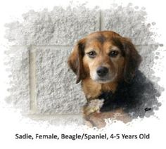 Sadie is an adoptable Beagle Dog in Ravenna, OH. There have been a lot of changes is her life lately, and we expect she will need plenty of time to adjust to her new home and new family. She is a swee...