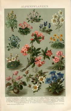 1894 Alpine Flowers Antique Chromolithograph Print | eBay
