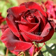 Black Magic :- Very elegant dark black-red blooms of large size.   A variety with magic charisma.Cut flower bush