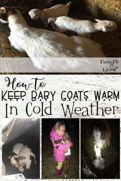 Are you wondering how much cold baby goats can handle? Do you think heat lamps are the only way? Here you'll learn how to keep baby goats warm in cold weather.  #raisinggoats #goatkidding