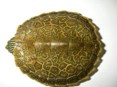 Northern map turtle / Tortue géographique | Opinicon Natural History