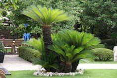 ソテツ Courtyard Landscaping, Florida Landscaping, Florida Gardening, Driveway Landscaping, Backyard Garden Design, Modern Landscaping, Landscaping Plants, Palm Garden, Asian Garden