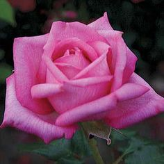 Buy Wedding Bells™ Eleganza® Hybrid Tea Rose for a Perfect Pink Marriage of Fragrance and Beauty! Amazing Flowers, Beautiful Roses, Beautiful Flowers, Stunningly Beautiful, Unusual Flowers, Pretty Roses, Beautiful Images, Purple Roses, Pink Flowers