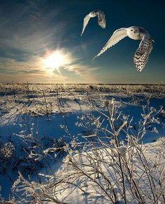 Winterlandschap met uilen