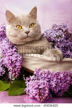 Lilac in Lilac Crazy Cat Lady, Crazy Cats, Cat Crying, Kinds Of Cats, Dog Poster, Cat Behavior, Mundo Animal, British Shorthair, Domestic Cat