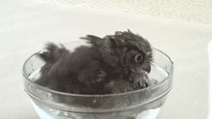 Screech owl having a bath and being dried
