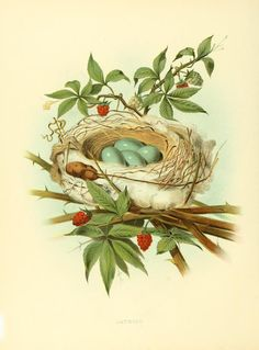 Nests and eggs of birds of the United States ... By: Gentry, Thomas G. Publication info: Philadelphia,J.A. Wagenseller,1882. Contributed by: Smithsonian Libraries