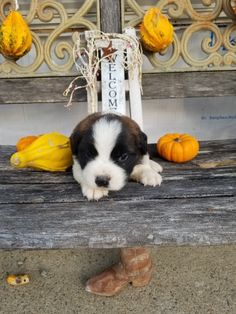 Breed: Saint bernard Gender: Male Registry: AKC Personality: friendly Date Available: Nov 19 2020 Morse is a lovable Saint bernard puppy sporting a friendly personality straight to the core! Morse loves to cuddle, play and catch puppy snoozes. Whether it's joining a rambunctious family or coming along side an active single, Morse is sure toRead More The post Morse appeared first on VIP Puppies - Puppy Finder - Puppies for Sale & Puppies for Adoption. If you've enjoyed this post, be sure to…