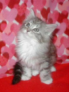 Crazy Cat Lady Carm: Thankful for Valentine's Kittens Valentines Day Cat, Funny Valentine, Crazy Cat Lady, Crazy Cats, Adorable Animals, Animals Beautiful, I Love Cats, Cute Cats, Kittens Cutest