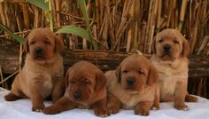 Red Fox Labrador puppies