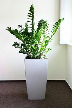 Vous aimez ? C'est le Zamioculcas, la plante du mois de juin !
